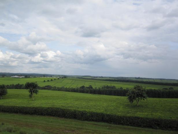 Tea estates of Western Kenya
