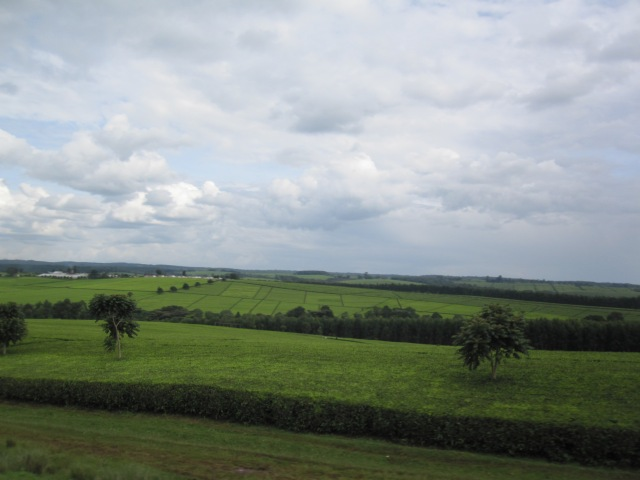 Tea estates of Western Kenya