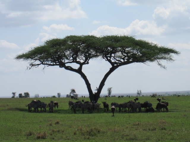 A meeting of the acacia shade committee
